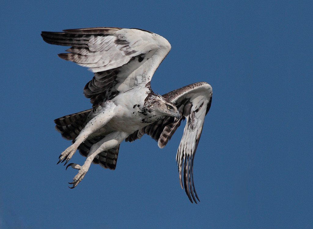 The Martial Eagle (Polemaetus bellicosus), is a very large eagle found in open and semi-open habitats of sub-Saharan Africa. It is the only member of the genus Polemaetus. This one was found in Botswana while I was rafting the Chobe River , May 2011