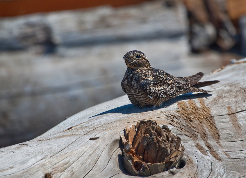 Nighthawk - Found at Iona Beach Park, Richmond BC<br /> <br /> Nighthawks are birds of the nightjar family in the New World subfamily Chordeilinae. They are medium-sized nocturnal birds with long wings, short legs and very short bills that usually nest on the ground and catch flying insects. The Least Nighthawk, at 16 centimetres (6.3 in) and 23 grams (0.81 oz), is the smallest of all Caprimulgiformes.<br /> <br /> Nighthawks have small feet, of little use for walking, and long pointed wings. Their soft plumage is cryptically coloured to resemble bark or leaves. Some species, unusually for birds, perch along a branch, rather than across it. This helps to conceal them during the day. The female lays two patterned eggs directly onto bare ground. They are mostly active in the late evening and early morning or at night, and feed predominantly on moths and other large flying insects.<br /> <br /> Nighthawks are similar in most respects to the nightjars, but have shorter bills and less soft plumage. Nighthawks are less strictly nocturnal than many nightjars, and may be seen hunting when there is still light in the sky. Nighthawks have short beaks which are perfect for catching aerial insects and crushing them.