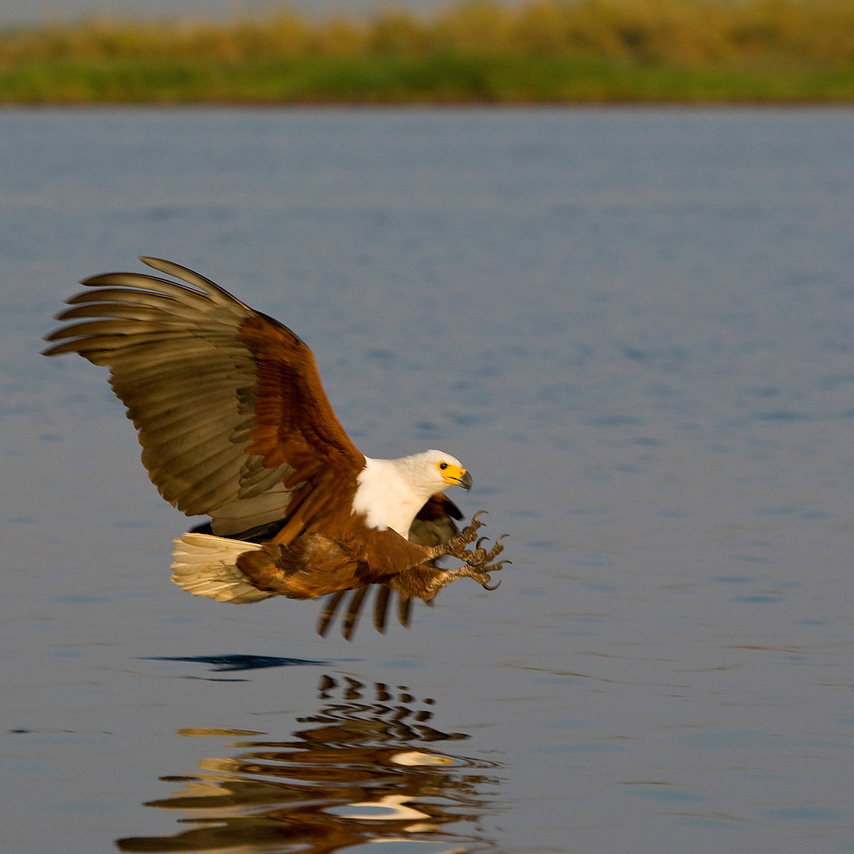 African Fish Eagle about to catch a fish - Chobe, Botswana