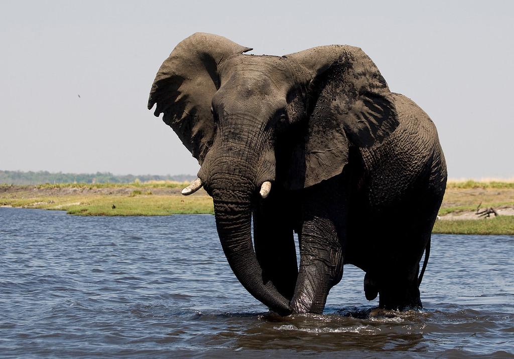 Male Elephant fans his ears as a warning - Chobe River, Botswana