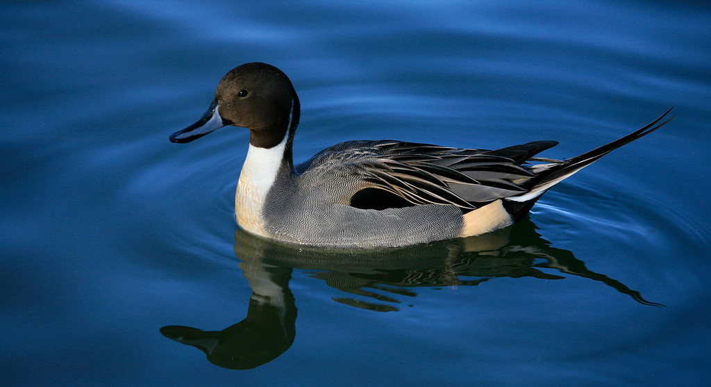 Male Pintail Duck - Central Ponds - Reifel Bird Sanctuary, British Columbia Canada