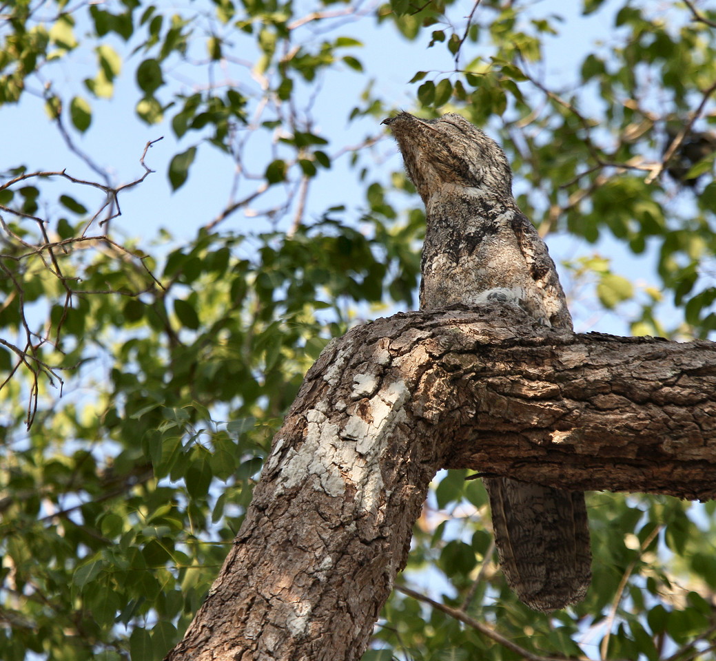 A Potoo. The potoos are a family, Nyctibiidae of near passerine birds related to the nightjars and frogmouths. They are sometimes called Poor-me-ones, after their haunting calls. There are seven species in one genus, Nyctibius, in tropical Central and South America. These are nocturnal insectivores which lack the bristles around the mouth found in the true nightjars. They hunt from a perch like a shrike or flycatcher. During the day they perch upright on tree stumps, camouflaged to look like part of the stump.