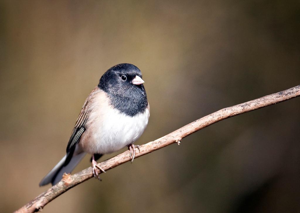 Towhee (Male) - Richmond , British Columbia, Canada