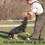 Aik vom Rebel Yelle <br /> Bitework at 16 weeks<br /> Helper Steve Romard