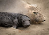 Mom and pup - Elephant Seals