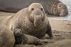 My what a big nose you have...  -  Bull elephant seal and pup