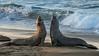 Battling Bull Elephant Seals