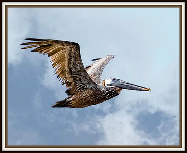 Pelican over Flagler Beach