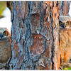 4 Great Horned Owl Juveniles