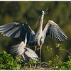 9 Great Blue Herons Nest Building