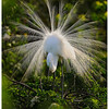 8 Great Egret Breeding Display