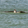Osprey surfacing having dived for a fish, Captiva Island, Florida, USA