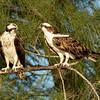 Ospreys in a tree along the Gulf coastline, Captiva Island, Florida, USA
