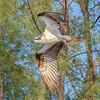 Osprey gathering nesting material, Captiva Island, Florida, USA