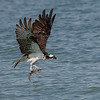 Osprey flying with a fish, Captiva Island, Florida, USA