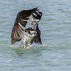 Osprey taking off from ocean with a fish, Captiva Island, Florida, USA