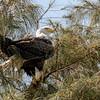 American Bald Eagle in a tree on the Gulf coast, Captiva Island, Florida, USA,