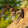 Osprey taking off from a perch, Captiva Island, Florida, USA
