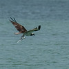 Osprey flying off with a fish, Captiva Island, Florida, USA