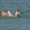 Osprey on the surface having dived for a fish, Captiva Island, Florida, USA