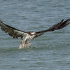 Osprey taking off with a fish, Captiva Island, Florida, USA