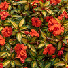 New Guinea Impatiens, Missouri Botanical Garden, St Louis, Missouri, USA