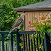 Coopers Hawk eying sparrows in a garden, St Louis, Missouri, USA