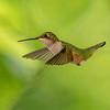 Young Ruby-throated Hummingbird, St Louis, Missouri, USA