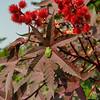 Grey tree frog on a Caster Plant leaf