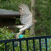 Coopers Hawk takes flight, St Louis, Missouri, USA