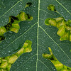 Water droplets on a Papaya leaf, Missouri Botanical Garden, St Louis, Missouri, USA