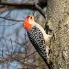 Red-bellied Woodpecker, St Louis, Missouri, USA