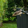 Coopers Hawk hunting sparrows in a Forscythia Bush, St Louis, Missouri, USA