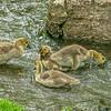 Four Canada Geese (Goslings), Missouri, USA