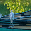 Great White Egret on a boat, The Boathouse, Forest Park, St Louis