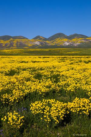 Carrizo Wild Flowers