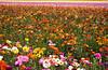 Endless Flowers Fields