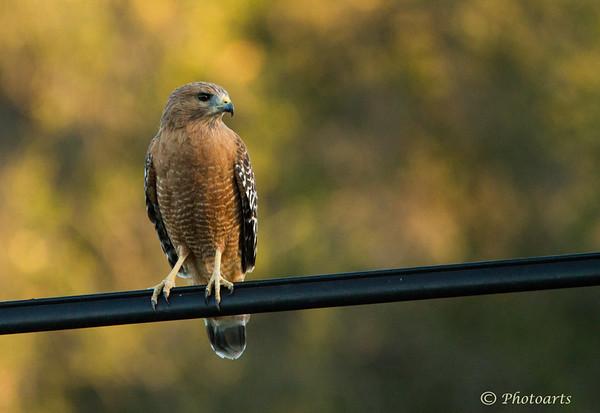 """""""Red-shouldered Hawk"""""""