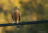 """Red-shouldered Hawk"""