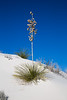 Yucca in White Sands
