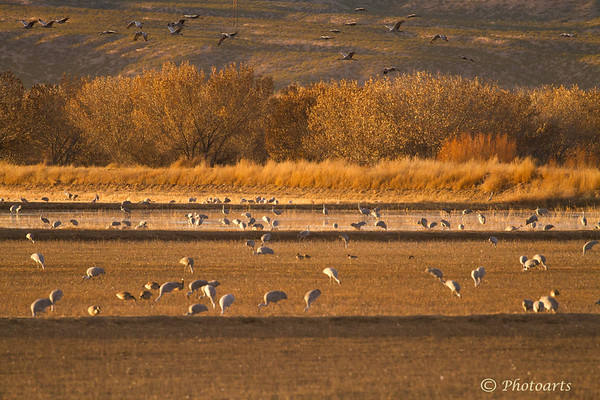 Field of Cranes