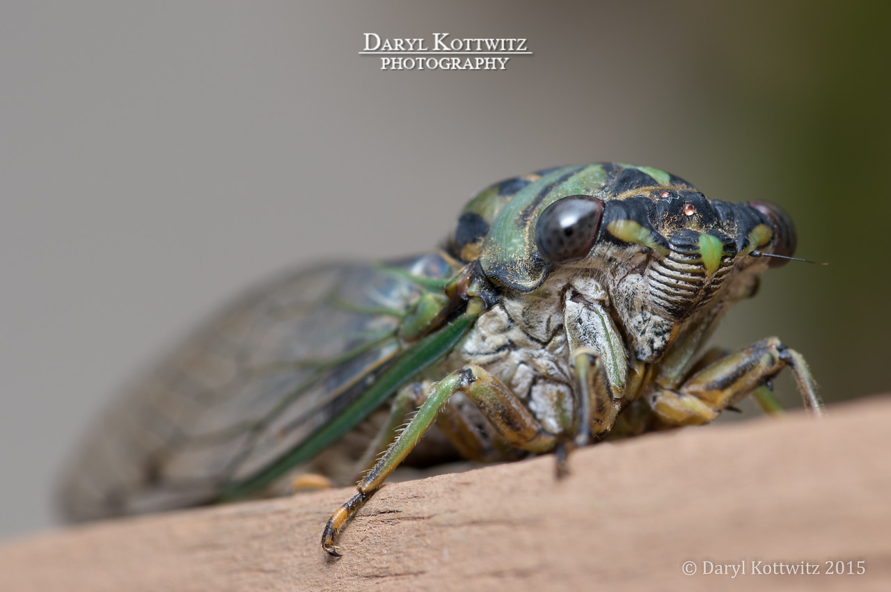 "Cicada Full Body ""Portrait"""