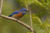 Blue Bird Beauty
