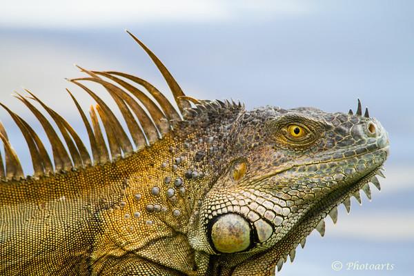 Monster Iguana