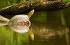 Common Slider Turtle