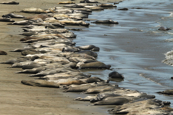 """50 Shades of Elephant Seal!"""