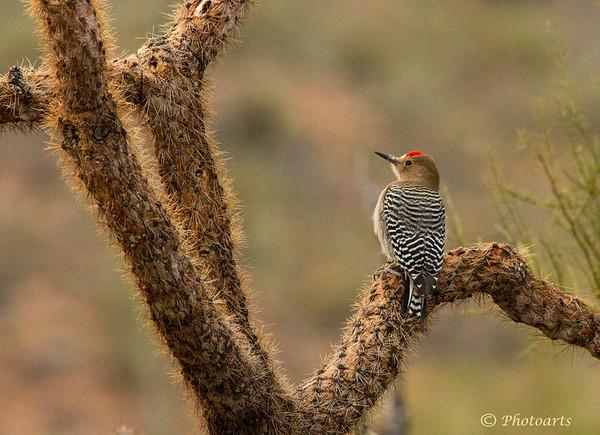 """Gila Woodpecker"""