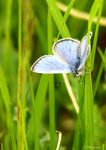 """Silvery Blue Butterfly"" (Glaucopsyche lygdamus) Common to North America, this Silvery Blue Butterfly was captured at Yellowstone National Park, Wyoming.  #44051225 © Payam Nashery - Photoarts"