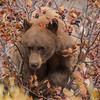 Black Bear and Hawthorn Berries