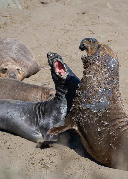 Male Elephant seals battling it out on the beach. Male Elephant seals come to rest on the beaches along the Central coast of California during the summer to molt their winter fur and fight. Or like the one in the background throw a bunch of side eye since his nap was interrupted.<br /> <br /> Camera: Sony a7iii<br /> Shutter Speed: 1/125th<br /> Aperture: f/10<br /> ISO: 400<br /> .<br /> .<br /> .<br /> .<br /> .<br /> .<br /> .<br /> .<br /> .<br /> .<br /> .<br /> .<br /> #elephantseal #ocean #animal #photography #bigsur #ocean #marinereserve #naturephotography #vanlifexplorers #overland #goexplore #cambriamarineconservation #exploring #centralcoast #pacificcoasthighway #photography #tidepool #conservation #centralcalicoast #sonyalpha